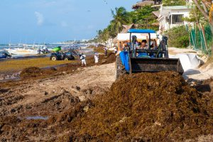 Read more about the article How is the seaweed in Riviera Maya? A Sargassum Update From Cozumel