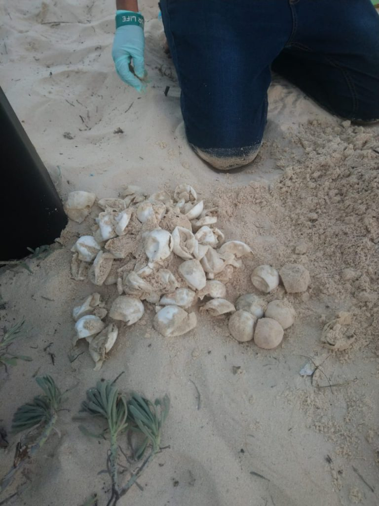 A pile of counted egg shells from a green sea turtle nest